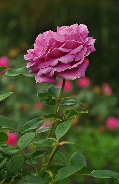 1.1412535905.rosengarten-in