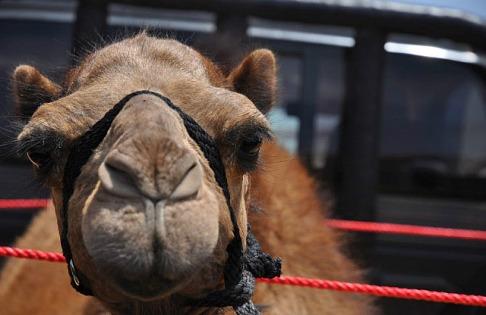 1.1429359884.1-auf-zum-kamelrennen
