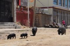 1.1444708875.schweine-statt-hunde
