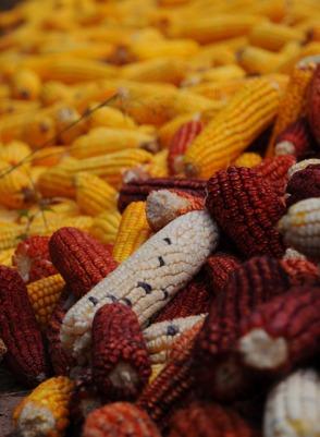 1.1447915546.verschiedene-maissorten