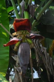 1.1461865680.bananenpflanze
