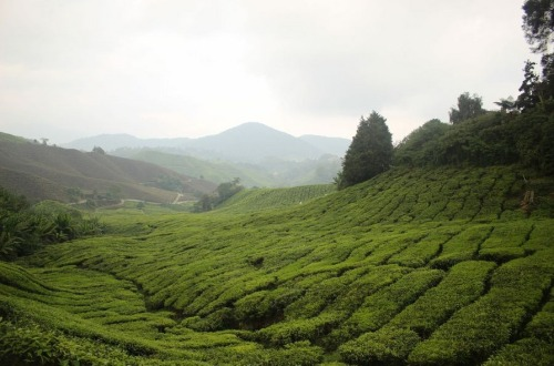 1.1463330735.tea-plantage-in-cameron-highlands