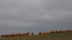 1.1476458199.more-sheep