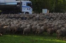 1.1480832592.sheep