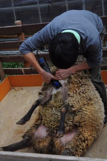 1.1494672403.sheering-sheep
