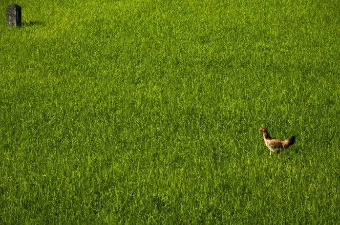 chicken in a ricefield